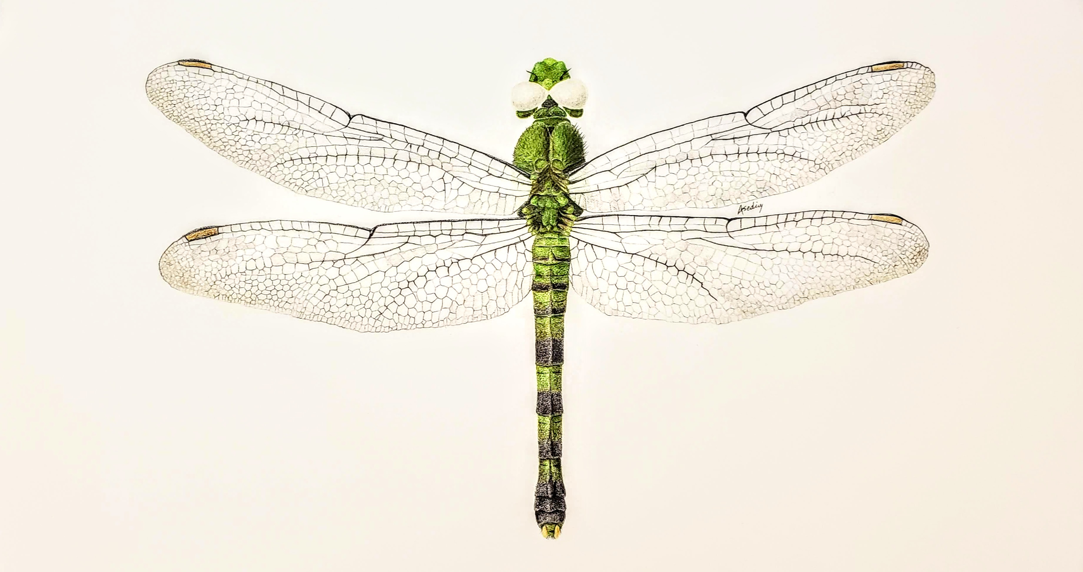 Odonata Libellulidae Erythemis simplicicollis pencil drawing by Aaron Sedivy